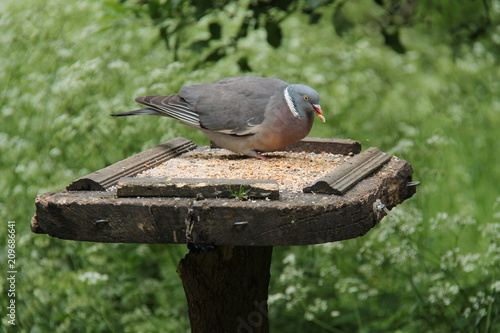 A Wild Pigeon Feeding From A Wooden Bird Table Stock Photo And