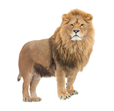 Adult, mighty lion pride leader. Isolated.