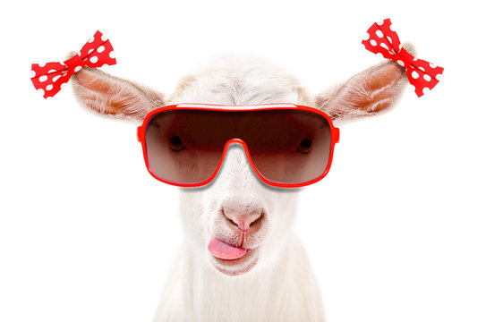 Portrait of a funny goat in a sunglasses with bows on the ears isolated on white background