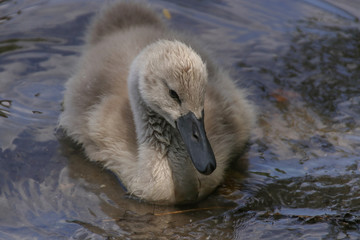 Swan Baby, Young Swan