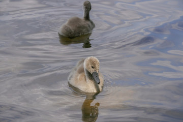 Swan Babies, Young Swans