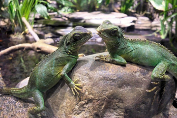 Water dragons.