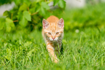 Portrait of little kitten walk thru grass. Shallow depth of filed.
