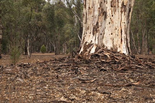 Wilpena Pound South Australia, leaf and bark litter around the base of a mature eucalyptus tree