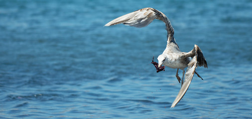 The seagull flies with a piece of bloody flesh over the sea, a hungry concept