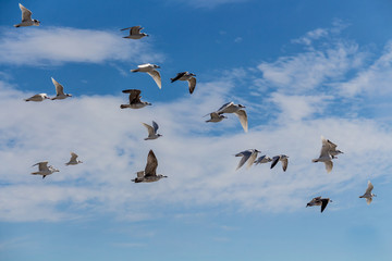 Granada, Spain; February 14, 2018: Seagulls in flight
