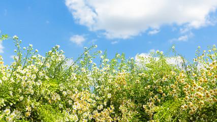 sfondo campagna nuvole e camomilla