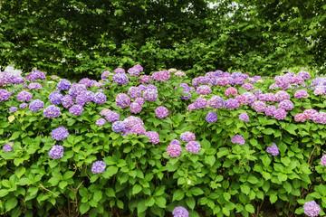 紫陽花、アジサイ、あじさい、たくさん、複数、日本