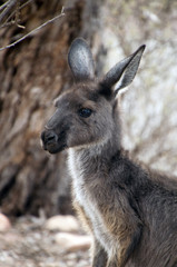 Wilpena South Australia,  close-up of head and face of adult Kangaroo