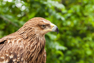 Close-up photo of golden eagle