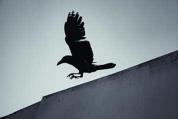 Black crow flying under blue sky