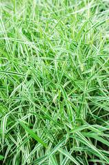 Glyceria maxima Variegata, long-term grass, ornamental grass, selective focus. nature wallpaper