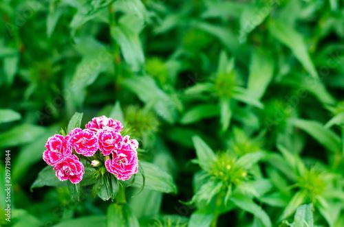 Cloves Turkish Dianthus Barbatus Garden Plants Flower Perennial