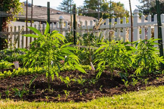 Home Grown Marijuana
