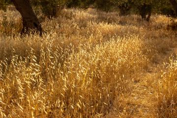 Weizenfeld in der Abendsonne