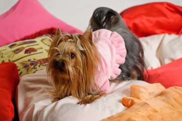 Portrait of a cute yorkshire terrier in pink dress