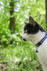 Black and White Cat with Collar Outside