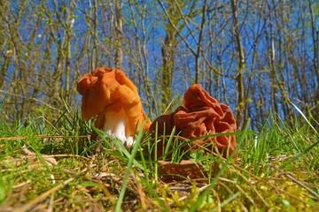 False morel mushroom