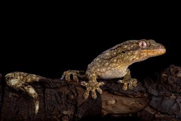 Wahlberg's velvet gecko (Homopholis wahlbergii )