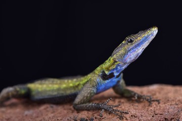 Mozambique flat lizard (Platysaurus intermedius nyasae)