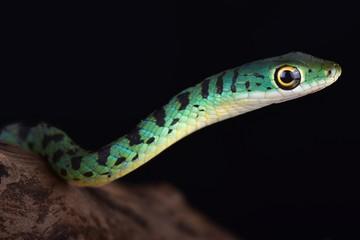 Wall Mural - Spotted bush snake (Philothamnus semivariegatus)