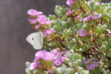 Farfalla su fiori lilla
