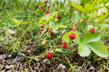 Wild strawberries growing in natural environment.