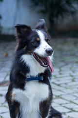 Border collie com 3 cores, pelo médio - cachorro manso