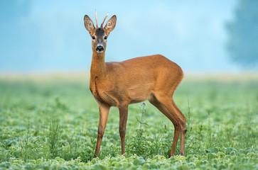 Wild roe deer standing in a soy field