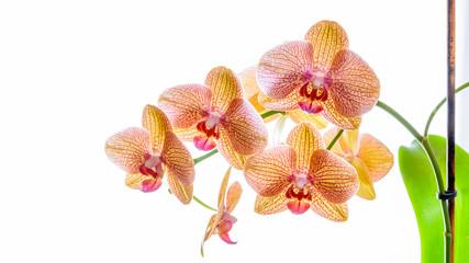 Gelbe Phalaenopsis Orchidee isoliert