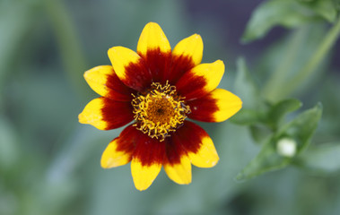 Yellow and red flower in the garden