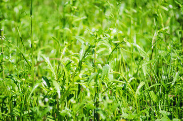Green grass on a summer meadow. Natural background.