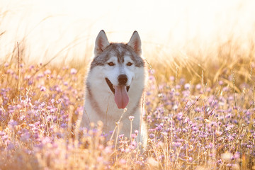 Cute beautiful gray husky with brown eyes sitting in green grass and lilac flowers on sunset background and yellow sunny backlight. Dog on a natural background.