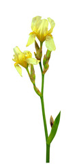 Spring irises. Flowers. Nature. Isolated on white background without shadow. Close-up.