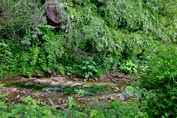 A forest mountain stream with white flowers on the shore