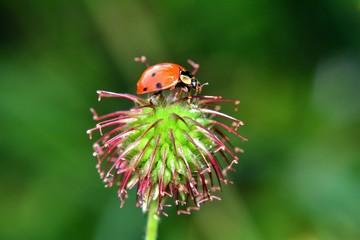Marienkäfer sitzt auf einer Pflanze vor grüner Natur