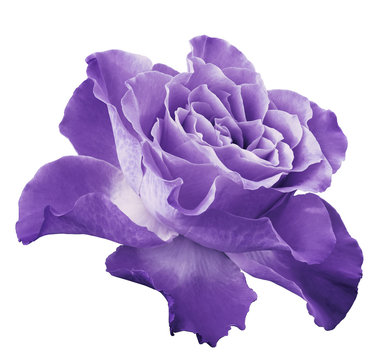 Rose light violet flower  on white isolated background with clipping path.  Side view. Closeup.  Nature.