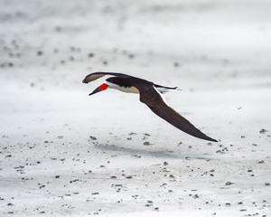Black skimmer flying low above the sand