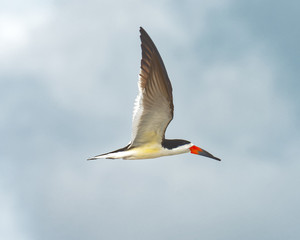 Black skimmer in flight with wings up
