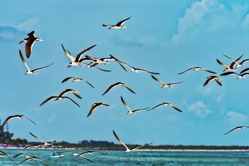 Black skimmer colony in flight