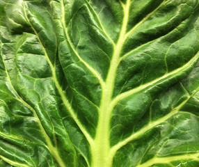 very Nice White Swiss Chard