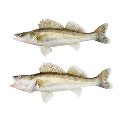 The Walleye or Pike-perch - Sander lucioperca. Fishing catch on white background.