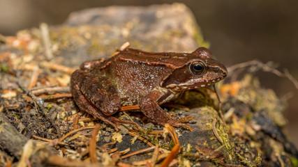 Frosch sitzt auf Stein