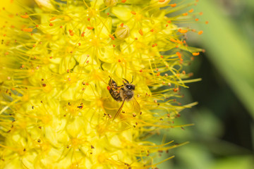 Close-up photo of a bee. The honeybee collects the pollen close-up. Photo of a bee sitting on a yellow flower. The bee pollinates the flower on a clear summer day. The bee colpation on a yellow flower