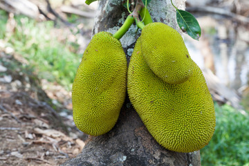Jack fruits on a tree in a tropical fruit garden