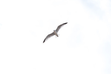 Seagull flying over white sky