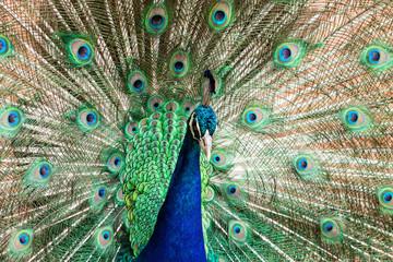 Peacock Peacocking