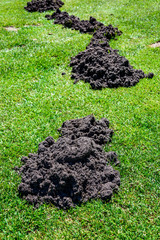 Evidence of fresh mole damage, curved line of dirt mounds left by moles in a green lawn