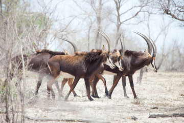 Mythical sable antelope