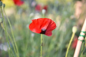 Poster Poppy flower